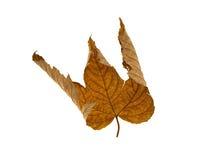 suchy liść klonu kolor żółty Zdjęcia Stock