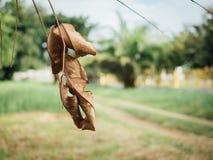 Suchy liść na drzewie Fotografia Royalty Free