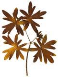 Suchy liść od herbarium odizolowywającego na białym tle fotografia stock