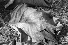 Suchy liść w czarny i biały zdjęcia royalty free