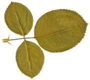 Suchy liść wzrastał od herbarium odizolowywającego na białym tle fotografia stock