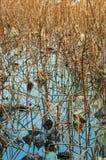 Suchy lotos w stawie Zdjęcie Royalty Free