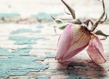 Suchy menchii róży pączek na tle szorstki podławy turkusu ból Fotografia Stock