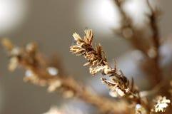Suchy Mini Jedlinowy drzewo Makro- Obrazy Stock