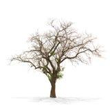 Suchy nieżywy drzewo odizolowywający na bielu obraz royalty free