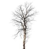 Suchy nieżywy drzewo odizolowywający na bielu zdjęcia stock