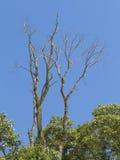Suchy nieżywy drzewo po środku zieleni opuszcza z niebieskiego nieba tłem fotografia royalty free