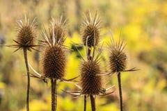 Suchy oset natury jesieni zakończenie w górę tła fotografia royalty free