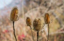 Suchy oset w polu przeciwstawia się jesień i nadchodzącą zimę obraz stock