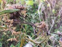 Suchy oset, zakończenie Wczesna jesień, natura Zdjęcie Stock