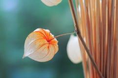 Suchy pęcherzyca kwiat Obraz Royalty Free