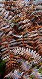 Suchy paprociowy liść w lesie obrazy stock