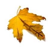 Suchy pomarańczowy jesień liść klonowy Zdjęcia Royalty Free