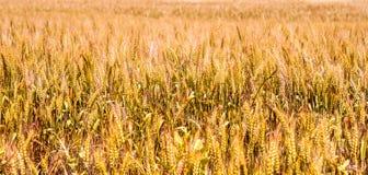 Suchy pszeniczny pole obrazy royalty free