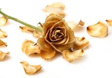 Suchy róża kwiat zdjęcie stock