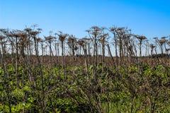 Suchy roślina gigant Hogweed r w polu fotografia stock