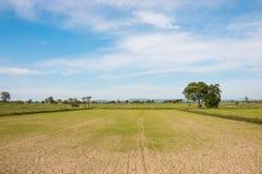 Suchy ryżu pole Obrazy Royalty Free