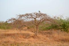 Suchy sawannowy siedlisko w Sahel paska regionie Senegal, Zachodni Afryka obrazy stock