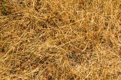 Suchych traw tekstura Zdjęcia Stock