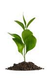 Suciedad del montón con una planta verde foto de archivo libre de regalías