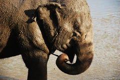 Suciedad mojada del elefante Foto de archivo libre de regalías
