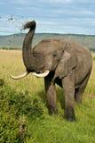 Suciedad que lanza del elefante africano Imagen de archivo