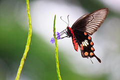 Suck honey swallowtail Butterfly. Swallowtail Butterfly which Being suck honey of Flower royalty free stock photos