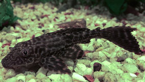 Sucker αλγών ψάρια Στοκ Φωτογραφία