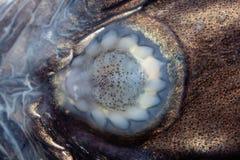 Sucker. Fish on the belly Liparis - inhabitant of the Kara Sea Stock Photos