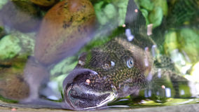 Sucker fish Stock Photos