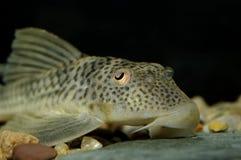 Suckermouth catfish. Detailed portrait of suckermouth catfish stock images