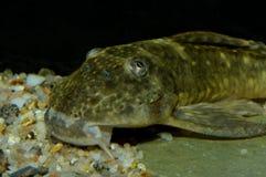 Suckermouth catfish Royalty Free Stock Photography