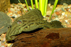Suckermouth fish Royalty Free Stock Photo