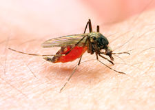 Sucking Anopheles mosquito. The Anopheles mosquito is dangerous vehicle of a malaria infection Royalty Free Stock Images
