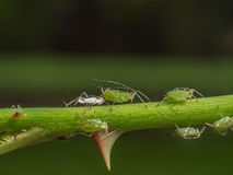 Sucking apids with exuvia. Photo shows aphids on rose shoot close to a thorn; contains exuvia Stock Images