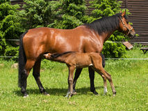 Sucking foal on meadow Royalty Free Stock Photo