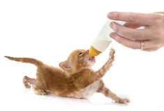 Sucking ginger kitten Stock Image
