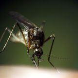 Sucking mosquito Royalty Free Stock Images