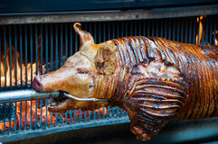 Sucking Pig. Poor Sucking Pig grilled on Fire Stock Photos