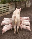 Sucking Piglets. Symmetrical photo of a biological pig with 9 drinking piglets, outside in the mud Royalty Free Stock Image