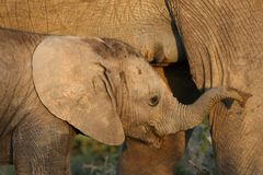 Suckling Baby African Elephant Royalty Free Stock Photos