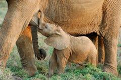 Suckling Baby African Elephant. (Loxodanta africana Royalty Free Stock Photo