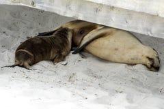 Suckling baby sea lion with mother, Kangaroo Island Stock Photos