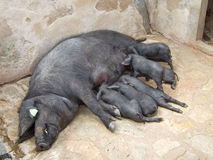 Suckling Black Iberian Piglets (Cerdo negro, Porc Negre) Royalty Free Stock Photo