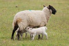 Suckling do cordeiro dos carneiros da ovelha imagens de stock