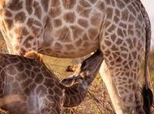 Suckling giraffe Stock Images