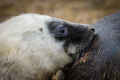 Suckling Grey Seal Pup Stock Photography