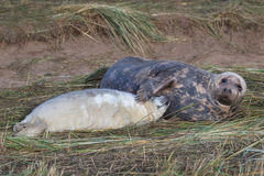 Suckling Grey Seal Pup Royalty Free Stock Image