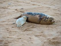 Suckling grey seal pup with its mother royalty free stock photo