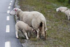 Suckling lamb Royalty Free Stock Photos
